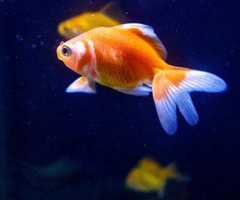 Japon Balığı Bakımı