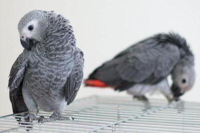 Afrika Gri Papağanı Yavrusu