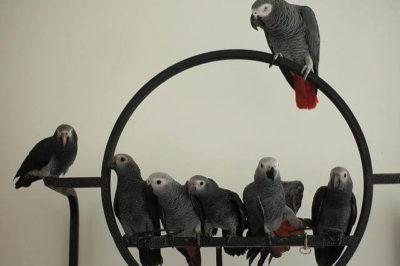 Jako Papağanları