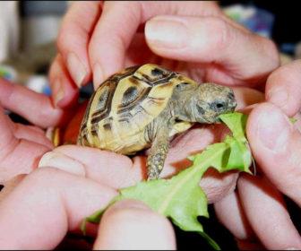 Kaplumbağa ne yer