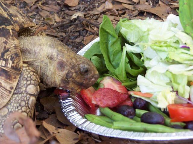 Kara Kaplumbağa Ne Yer
