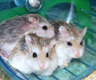 Hamster çarkı nedir