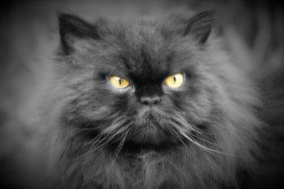 Şiraz Kedisi