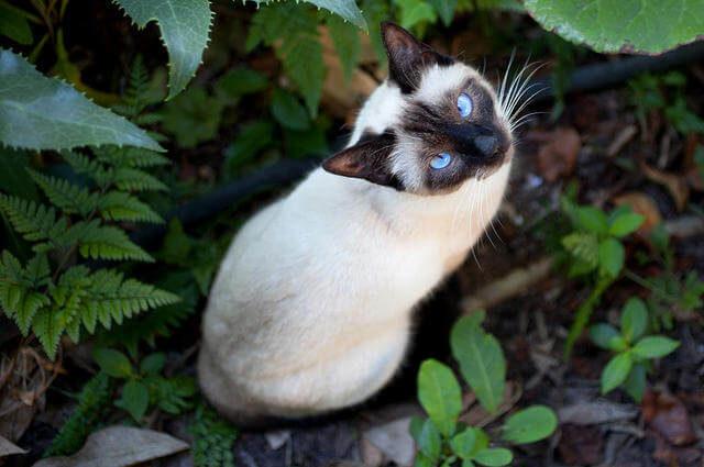 Siyam Kedi Cinsi