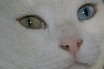 Van Kedisi Gözleri