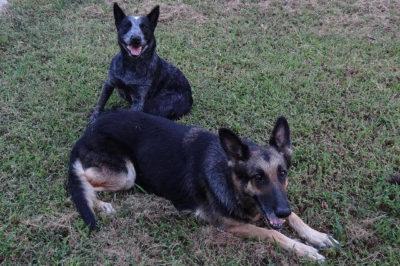 Alman Kurdu ve Avustralya Sığır Köpeği