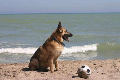 Alman Çoban Köpek