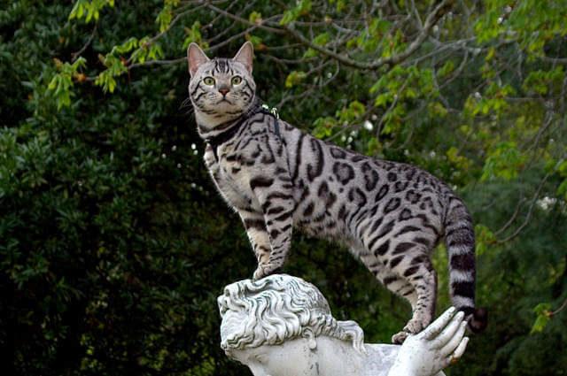 Bengal Kedi