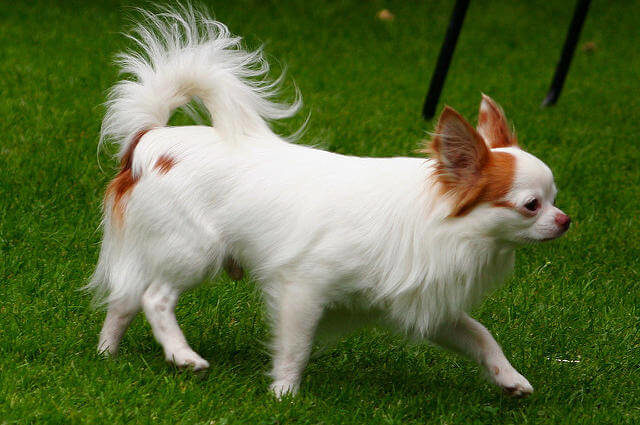 Chihuahua Köpek Uzun Tüylü
