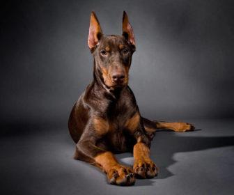 Doberman Köpeği