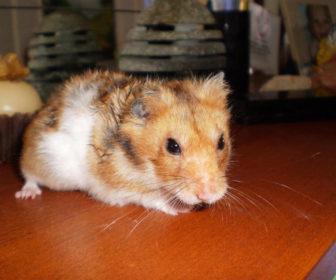Hamster Hastalıkları