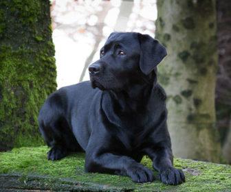 Labrador Retriever Köpeği