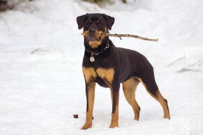 Rottweiler Köpeği