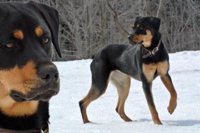 Rotvaydır Köpeği
