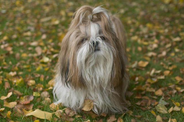 Shih Tzu Köpeği