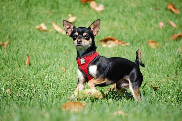 Şivava Köpeği