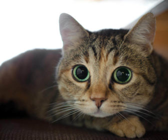 Kedilerde Göz Bakımı