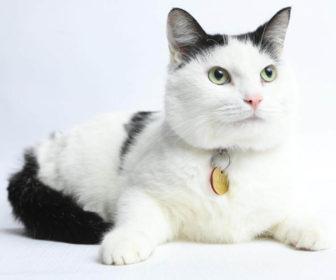 Kedilerde Kulak Bakımı