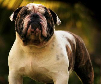 Bulldog Köpeği