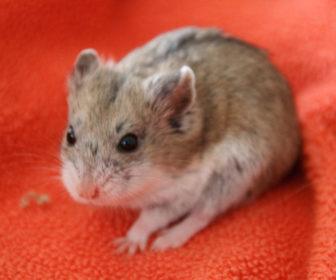 Çin Hamsterı