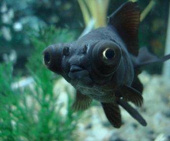 Siyah Teleskop Gözlü Japon Balığı