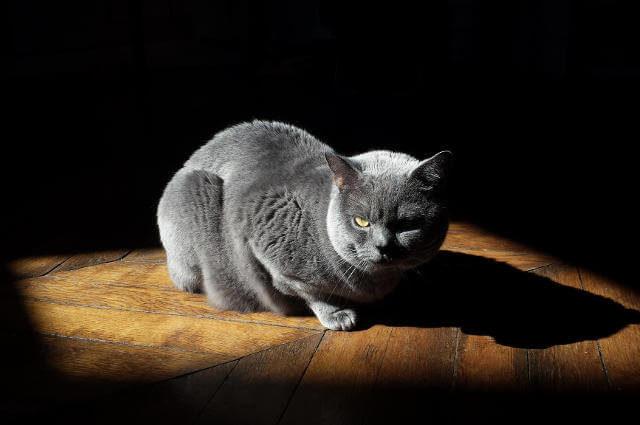 Chartreux Kedi