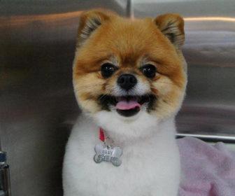 Pomsky Köpeği