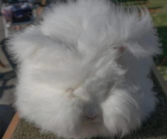 İngiliz Angora Tavşanı