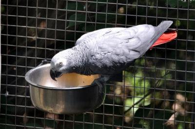 Jako Papağan