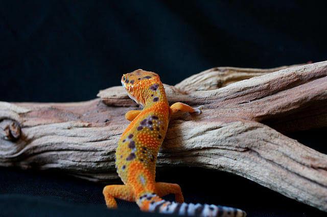 Leopard Gecko Kertenkelesi