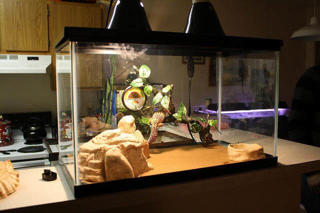 Leopard Gecko Teraryumu
