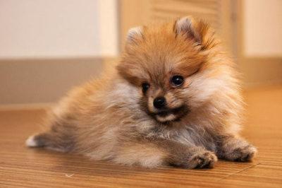 Cupcake Pomeranian