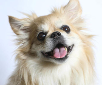 Pomeranian Boo Köpeği