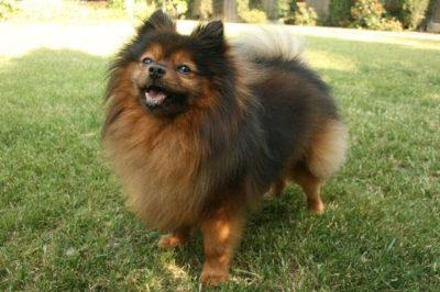 Pomeranian Irkı Köpek