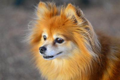 Pomeranian Köpeği