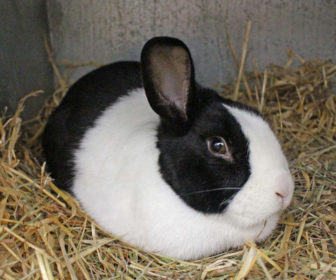 Hollanda Tavşanı