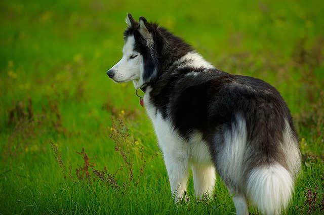 Husky Köpek