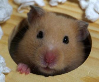 Suriye Hamsterı