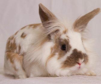 Aslanbaş Tavşan