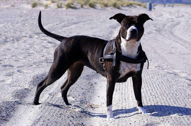 Pitbull Köpeği