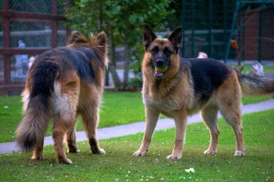 Uzun ve Kısa Tüylü Alman Çoban Köpekleri