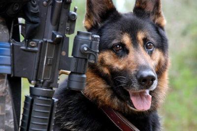 K9 Köpek (Alman Kurdu)