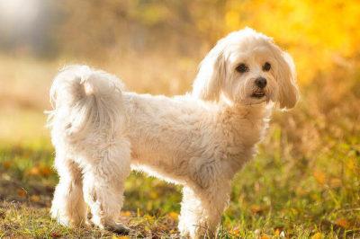 Maltese Terrier Cinsi Köpek