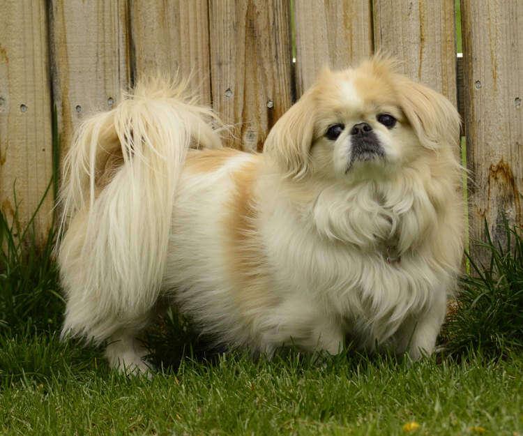 Tibet Shih Tzu - Gözleri düşüren bir köpek 1