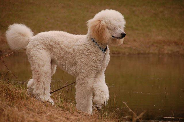Standart Kaniş Köpeği