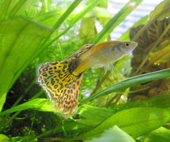 Canlı Doğuran Balıklar