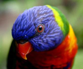 Lori Papağanı - Trichoglossus moluccanus