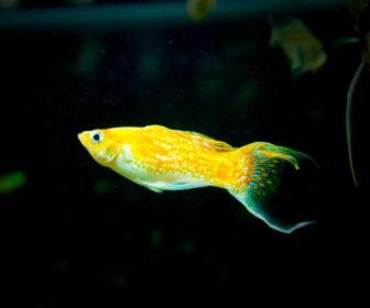 Molly Balığı
