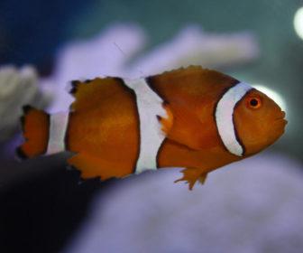 Balıklarda Kuyruk Çürümesi - Yüzgeç Erimesi