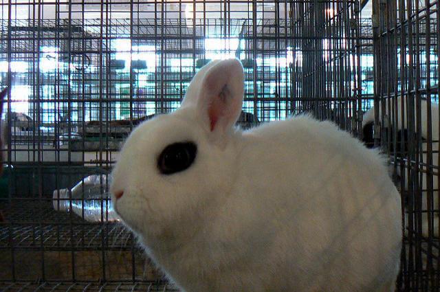 Cüce Hotot Tavşanı